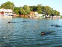 PlavanieDunaj